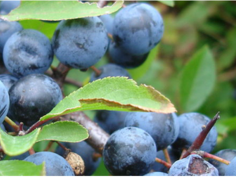 How To Make Sloe Gin >> What Is The Best Gin For Making Sloe Gin With The Gin Guide